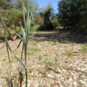 Cymbopogon refractus at Sth Tablelands Ecosystem Park - 3 Jan 2017