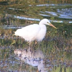 Ardea intermedia (Intermediate Egret) at Jerrabomberra Wetlands - 18 Feb 2017 by MatthewFrawley