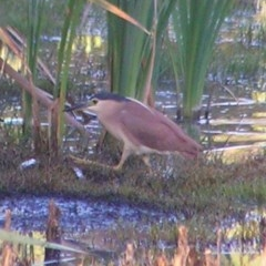 Nycticorax caledonicus (Nankeen Night-Heron) at Jerrabomberra Wetlands - 18 Feb 2017 by MatthewFrawley