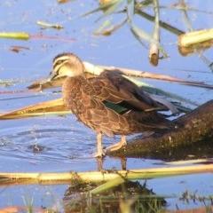 Anas superciliosa (Pacific Black Duck) at Jerrabomberra Wetlands - 18 Feb 2017 by MatthewFrawley