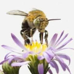 Amegilla (Zonamegilla) asserta (Blue Banded Bee) at Higgins, ACT - 18 Feb 2017 by Alison Milton