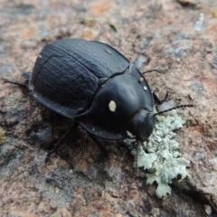 Celibe limbata (Pie-dish beetle) at Bullen Range - 21 Jan 2016 by michaelb