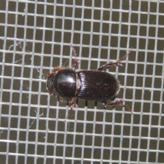 Acrossidius tasmaniae (Black-headed pasture cockchafer) at Conder, ACT - 25 Jan 2017 by michaelb