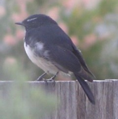 Rhipidura leucophrys (Willie Wagtail) at Ngunnawal, ACT - 6 Oct 2001 by GeoffRobertson