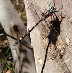 Austroaeschna multipunctata (Multi-spotted Darner) at Namadgi National Park - 21 Feb 2017 by Ratcliffe
