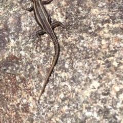 Pseudemoia spenceri (Spencer's Skink) at Namadgi National Park - 20 Feb 2017 by Ratcliffe