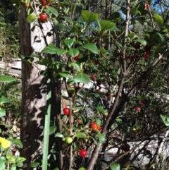 Coprosma hirtella (Coffee-berry) at Namadgi National Park - 20 Feb 2017 by Ratcliffe