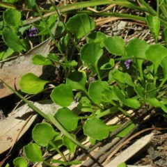 Viola fuscoviolacea at Paddys Flat, NSW - 18 Dec 2014 by JackieMiles