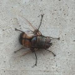 Rutilia (Donovanius) sp. (genus & subgenus) (A Bristle Fly) at Farrer Ridge - 25 Feb 2017 by Mike