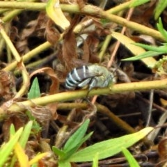 Amegilla sp. (genus) (Blue Banded Bee) at Mount Painter - 25 Feb 2017 by CathB
