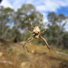 Eriophora sp. (genus) (Garden orb weaver) at Aranda Bushland - 25 Feb 2017 by CathB