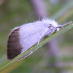 Acyphas semiochrea (Omnivorous Tussock Moth) at Namadgi National Park - 25 Feb 2017 by MatthewFrawley