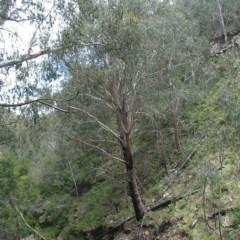 Eucalyptus delegatensis subsp. delegatensis (Alpine Ash) at Kosciuszko National Park - 2 Dec 2008 by JackieMiles
