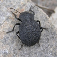 Nyctozoilus deyrolli (Darkling beetle) at Namadgi National Park - 25 Feb 2017 by MatthewFrawley