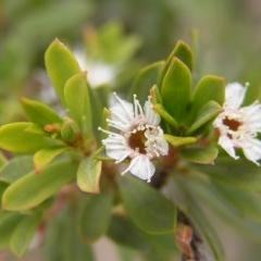 Kunzea ericoides (alpine form) at Namadgi National Park - 25 Feb 2017 by MatthewFrawley