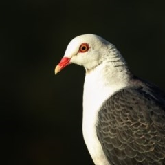 Columba leucomela (White-headed Pigeon) at Merimbula, NSW - 27 Feb 2017 by Leo