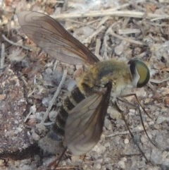 Comptosia sp. (genus) (Unidentified Comptosia bee fly) at Conder, ACT - 27 Feb 2017 by michaelb