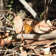Geitoneura acantha (Ringed Xenica) at Tidbinbilla Nature Reserve - 28 Feb 2017 by Qwerty