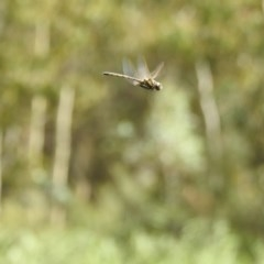 Hemicordulia tau (Tau Emerald) at Tidbinbilla Nature Reserve - 28 Feb 2017 by Qwerty