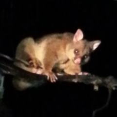 Trichosurus vulpecula (Common Brushtail Possum) at Kambah, ACT - 4 Mar 2017 by MatthewFrawley