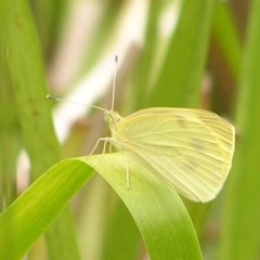 Pieris rapae (Cabbage White) at Kambah, ACT - 4 Mar 2017 by MatthewFrawley