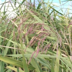 Phragmites australis (Common reed) at Jerrabomberra Wetlands - 4 Mar 2017 by MatthewFrawley