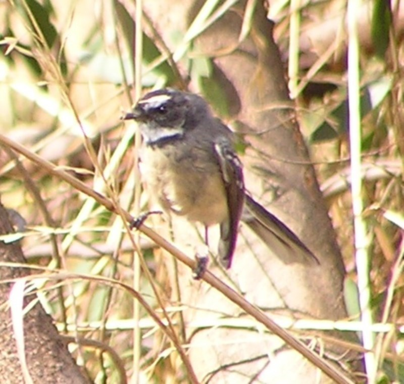 Rhipidura albiscapa at Jerrabomberra Wetlands - 5 Mar 2017