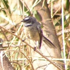 Rhipidura fuliginosa (Grey Fantail) at Jerrabomberra Wetlands - 4 Mar 2017 by MatthewFrawley