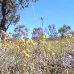 Chrysocephalum apiculatum (Common Everlasting) at Mount Taylor - 30 Dec 2013 by MatthewFrawley