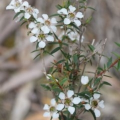 Leptospermum sp. (Tea tree) at Hughes Garran Woodland - 17 Jun 2016 by ruthkerruish