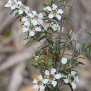 Leptospermum sp. at Hughes Garran Woodland - 18 Jun 2016