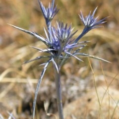 Eryngium ovinum (Blue Devil) at Hughes Garran Woodland - 25 Aug 2013 by ruthkerruish