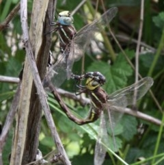 Adversaeschna brevistyla (Blue-spotted Hawker) at Mount Clear, ACT - 9 Feb 2017 by HarveyPerkins