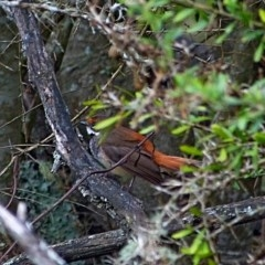 Rhipidura rufifrons (Rufous Fantail) at Brogo, NSW - 7 Mar 2017 by MaxCampbell
