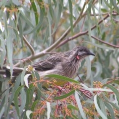 Anthochaera carunculata (Red Wattlebird) at Kambah, ACT - 7 Mar 2017 by MatthewFrawley