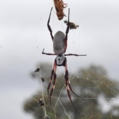 Nephila edulis (Golden orb weaver) at Tralee, ACT - 8 Mar 2017 by JohnBundock