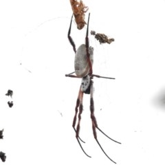 Nephila edulis at Tralee, ACT - 8 Mar 2017