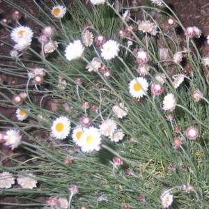 Leucochrysum albicans subsp. tricolor at Hughes Garran Woodland - 9 Oct 2016