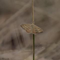Scopula rubraria (Plantain Moth) at Majura, ACT - 8 Mar 2017 by Roger