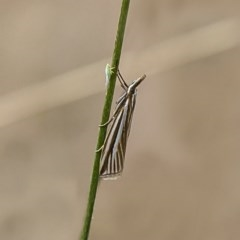 Hednota species near grammellus (Pyralid or snout moth) at Majura, ACT - 8 Mar 2017 by Roger