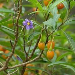 Solanum aviculare (Kangaroo Apple) at Brogo, NSW - 7 Mar 2017 by MaxCampbell