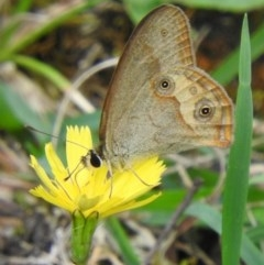 Hypocysta metirius (Brown Ringlet) at Brogo, NSW - 5 Mar 2017 by MaxCampbell
