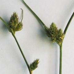 Carex inversa (Knob Sedge) at Hughes Garran Woodland - 11 Oct 2016 by ruthkerruish