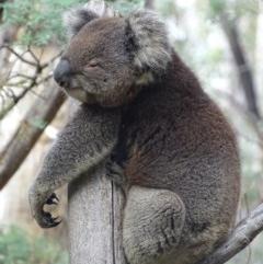 Phascolarctos cinereus (Koala) at Tidbinbilla Nature Reserve - 2 Mar 2017 by roymcd