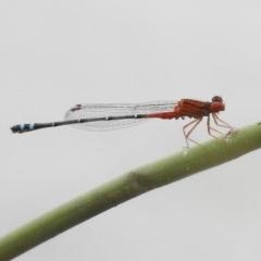 Xanthagrion erythroneurum (Red & Blue Damsel) at Isabella Pond - 16 Mar 2017 by JohnBundock