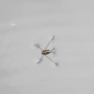 Gerridae sp. (family) at ANBG - 16 Mar 2017