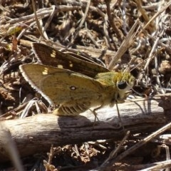 Trapezites luteus (Yellow Ochre, Rare White-spot Skipper) at Red Hill Nature Reserve - 17 Mar 2017 by roymcd