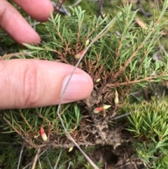 Astroloma humifusum at Bungendore, NSW - 18 Mar 2017