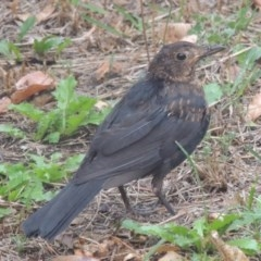 Turdus merula (Common Blackbird) at Conder, ACT - 15 Mar 2017 by michaelb