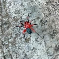 Nicodamidae sp. (family) (Red and Black Spider) at Namadgi National Park - 18 Mar 2017 by galah681